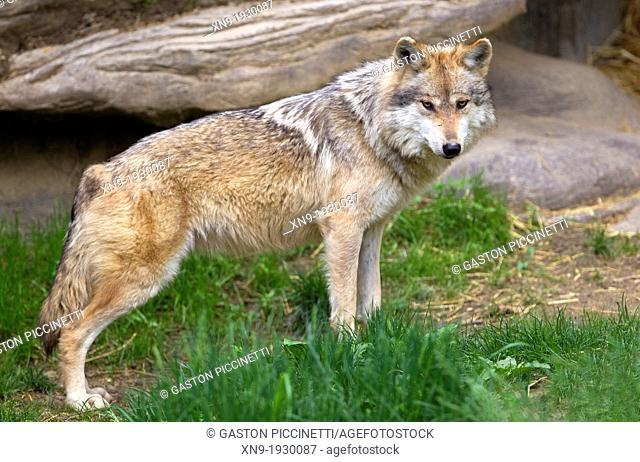 Mexican Wolf (Canis lupus baileyi), Cincinnati Zoo, Ohio, USA