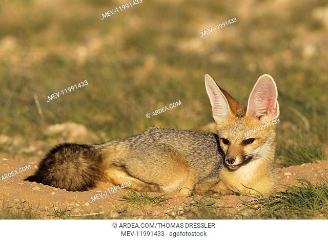 Cape Fox - resting in the late evening at its burrow - Kalahari Desert, Kgalagadi Transfrontier Park, South Africa