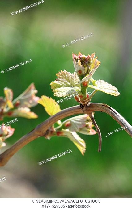 Young buds of Vitis vinifera in early springtime, Male Karpaty, Slovakia