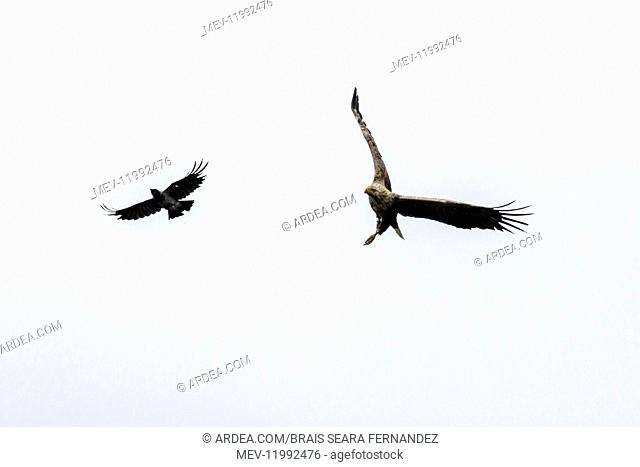 White-tailed Eagle - attacked by Hooded Crow - Scotland, United Kingdom