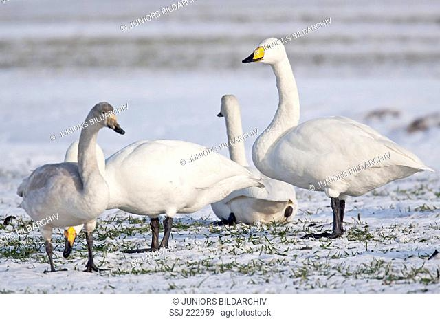 Whooper Swan (Cygnus cygnus) adults and cygnet resting on a snow covered meadow during the migration, Schleswig-Holstein, Germany