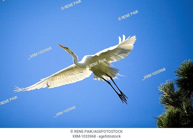 Great egret (Ardea alba, fam. Ardeidae) in flight. The artificial estuaries and lagoons in the suburbs of San Francisco (California