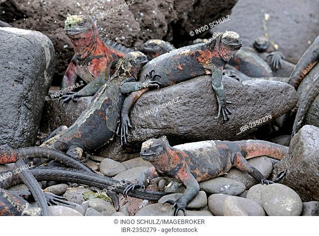 Marine Iguanas (Amblyrhynchus cristatus), Española Island subspecies, Galapagos Islands, UNESCO World Heritage Site, Ecuador, South America