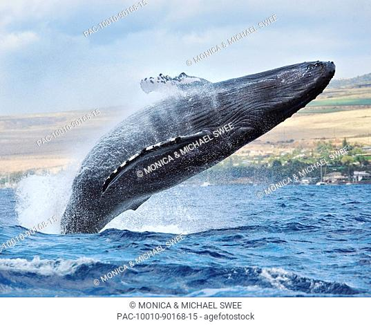 Hawaii, Maui, Humpback whale breaching with island in the background