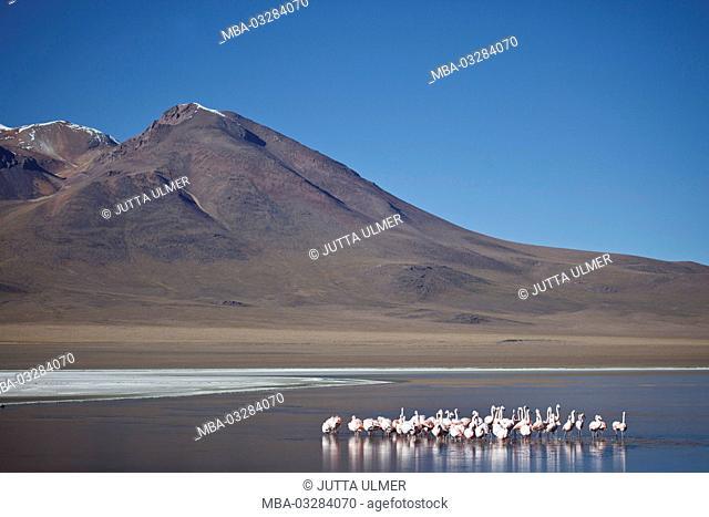 Bolivia, Los Lipez, Laguna Canapa, Andean flamingos