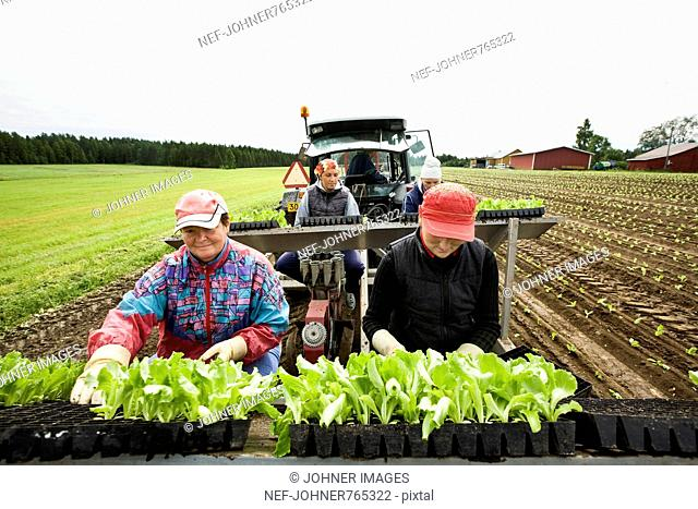 People planting iceberg lettuce on a field, Finland
