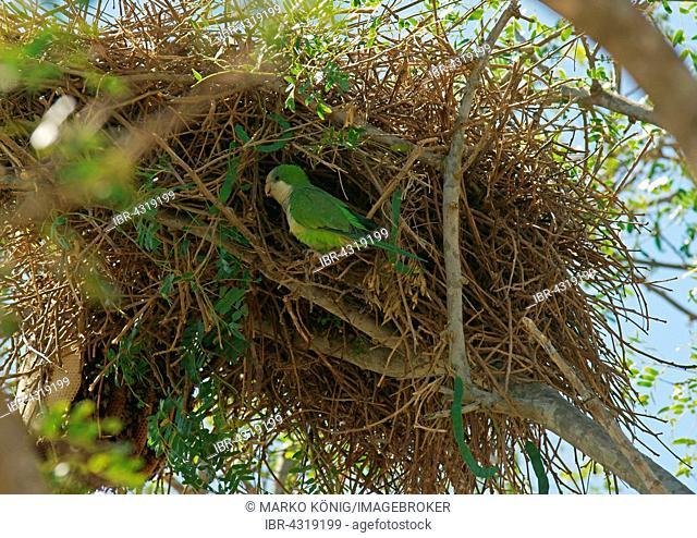 Monk Parakeet (Myiopsitta monachus) in front of its nest, Pantanal, Brazil