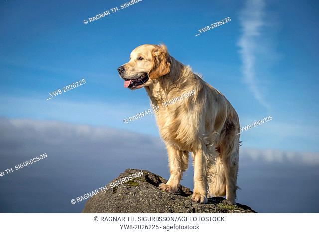 Portrait of young Golden Retriever. Young guide dog in training