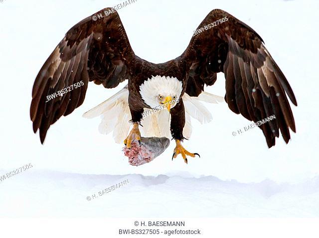 American bald eagle (Haliaeetus leucocephalus), with salmon head in talon landing in snow, USA, Alaska, Chilkat Bald Eagle Preserve