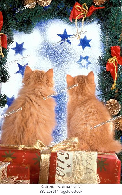 British Shorthair,. Two red tabby kittens sitting on gift boxes, looking through a frosty window. Germany