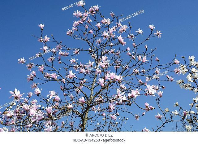 Magnolia  'Leonad Messel' Magnolia loebneri