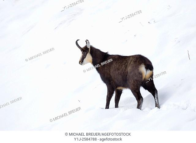Chamois (Rupicapra rupicapra), Male, Gran Paradiso National Park, Alps, Italy, Europe