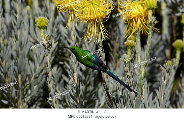 Malachite Sunbird (Nectarinia famosa) male feeding on nectar of Rocket Pincushion (Leucospermum reflexum) flower, Kirstenbosch Garden, Cape Town, South Africa