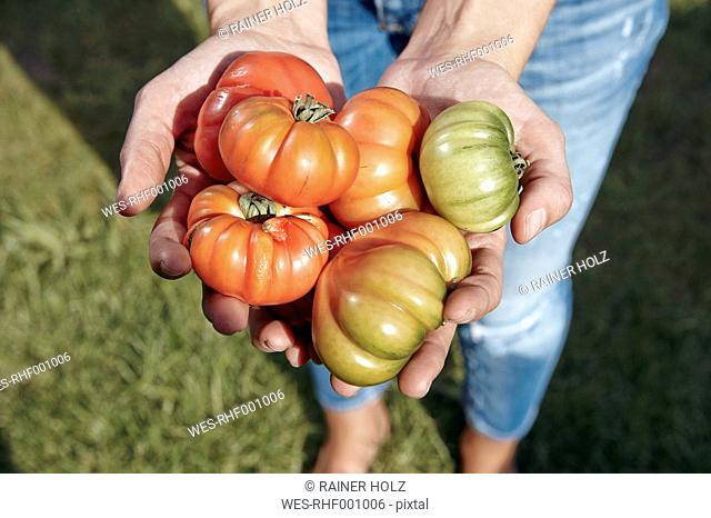 Close-up of woman holding beef tomatoes in garden