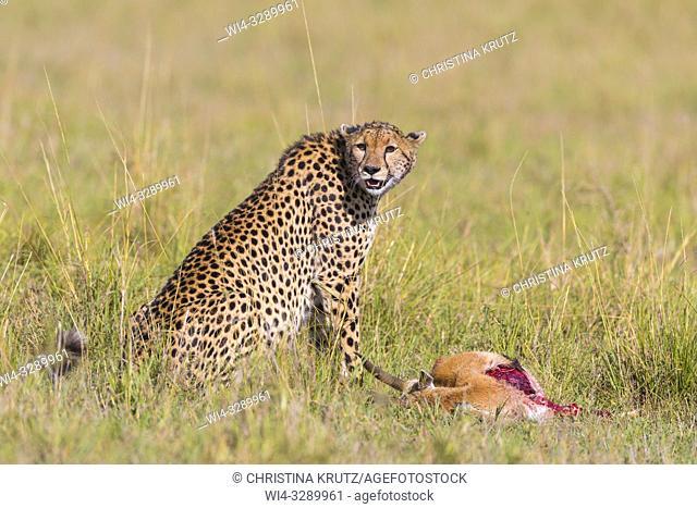 Cheetah (Acinonyx jubatus) with Thomson's Gazelle Prey, Maasai Mara National Reserve, Kenya, Africa