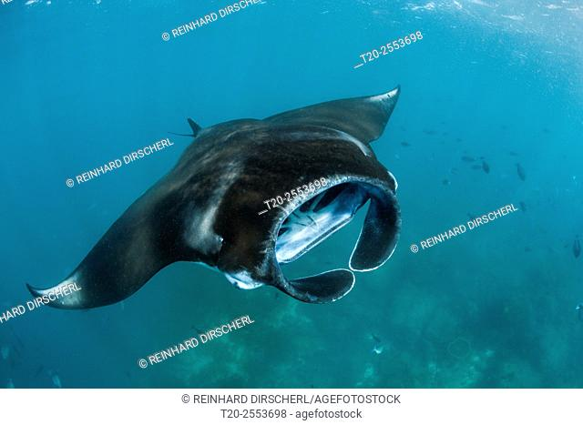 Reef Manta, Manta alfredi, Komodo National Park, Indonesia