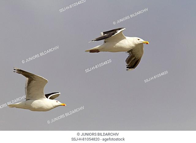 Great Black-backed Gull (Larus marinus), two adults in flight