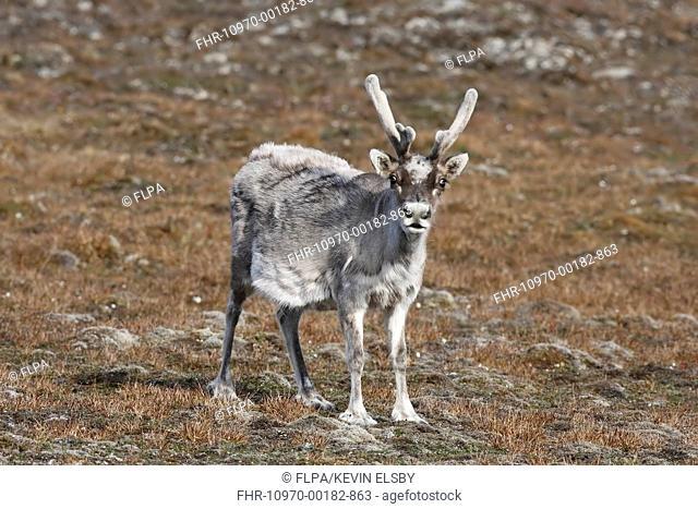 Reindeer (Rangifer tarandus platyrhynchus) adult, with antlers in velvet, moulting coat, Torden Skjold Bukta, Spitzbergen, Svalbard, July