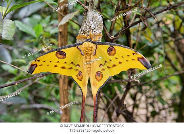 Giant comet moth (Argema mittrei), Andasibe-Mantadia National Park, Madagascar