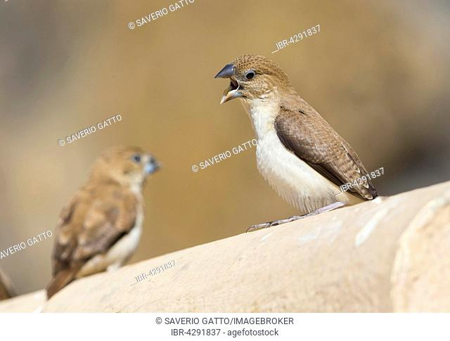 African Silverbill, Warbling Silverbill (Euodice cantans), adult calling, Wadi Darbat, Dhofar, Oman