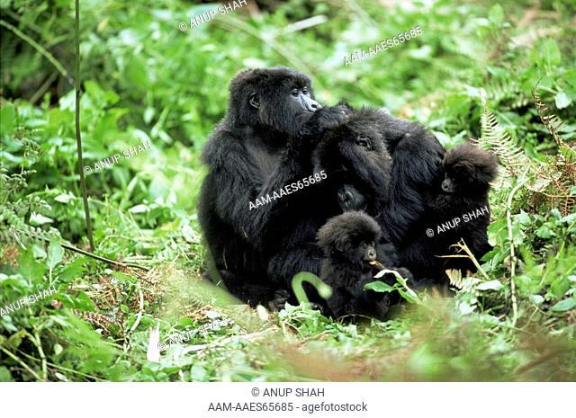 Mountain Gorilla family group grooming (Gorilla gorilla beringei) Parc du Volcans National Park, Rwanda