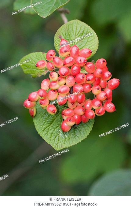 Wayfaring Tree, Viburnum lantana / Wolliger Schneeball, Viburnum lantana