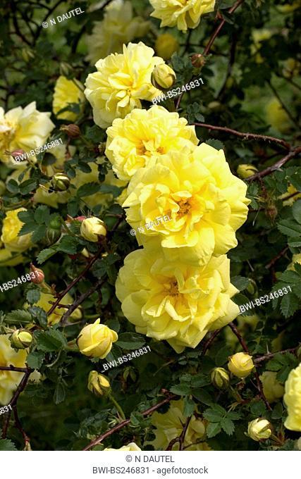 golden rose of china, father hugo rose Rosa hugonis Rosa xanthina fo. hugonis, blooming