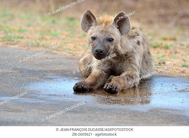 Spotted hyena (Crocuta crocuta), young male lying, in a puddle on the road, Kruger National Park, South Africa, Africa