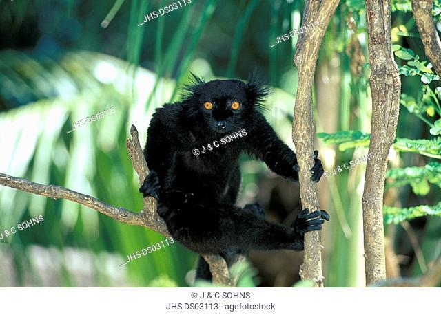 Black Lemur,Lemur macaco,Nosy Komba,Madagascar,Africa,adult male on tree