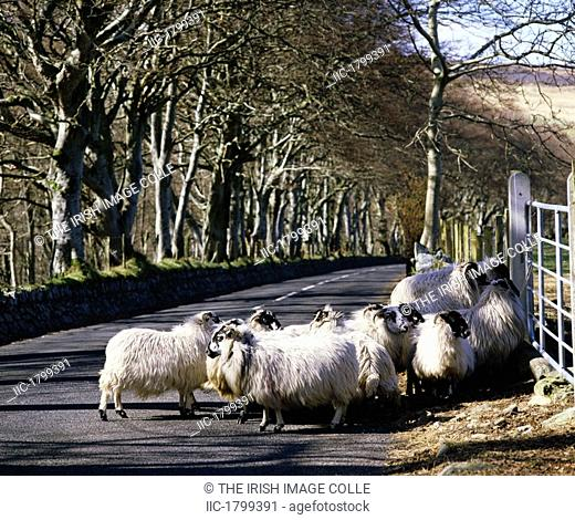 Sheep on the road, Torr Head, Co Antrim