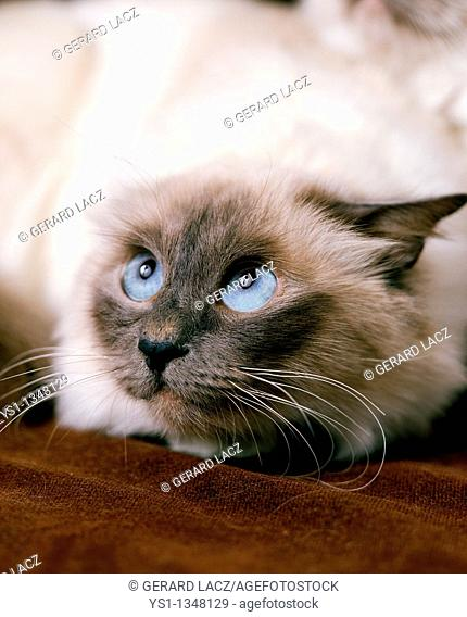 BIRMANESE DOMESTIC CAT, ADULT WITH FEAR FACE