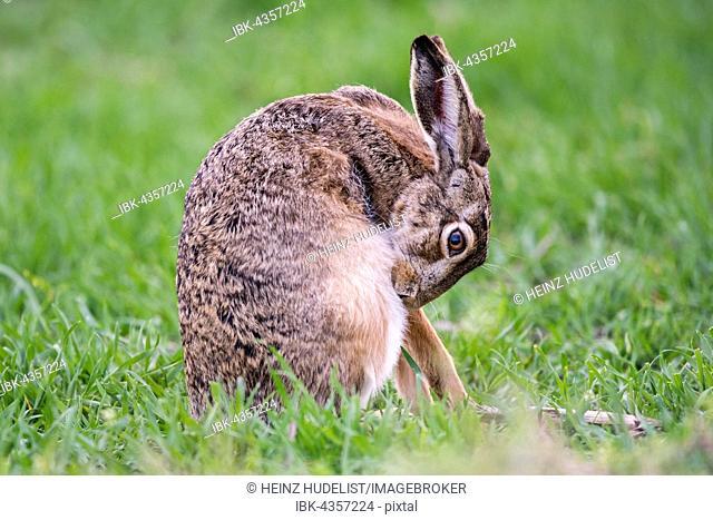 Hare (Lepus europaeus) brushing, coat care, sitting in the meadow, National Park Lake Neusiedl, Burgenland, Austria