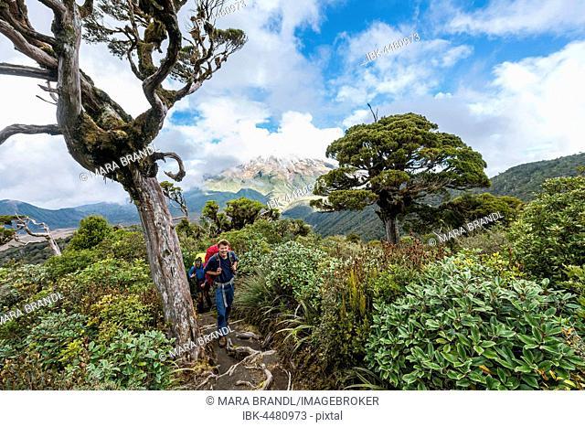 Hiker on hiking trail through forest, at back Mount Taranaki, Pouakai Circuit, Egmont National Park, Taranaki, North Island, New Zealand