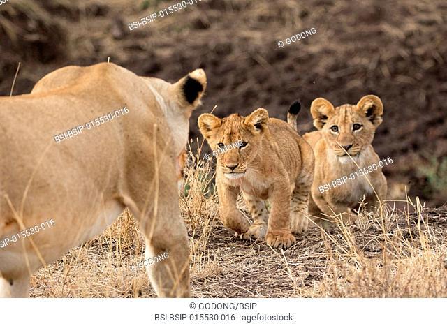 Serengeti National Park. Lioness and cubs (Panthera leo). Tanzania