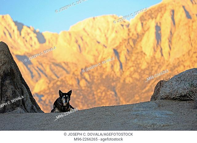 Sheppard mix dog with Mount Whitney in background, Alabama Hills, California, USA