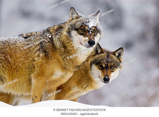 Wolves (Canis lupus). Nationalpark Bayerischer Wald, Bavarian Forest, Germany