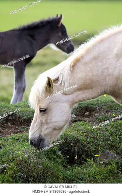 Iceland, Nordurland region, peninsula of Vatnsnes, Icelandic horse and his foal in a meadow