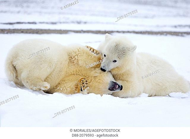 United States , Alaska , Arctic National Wildlife Refuge , Kaktovik , Polar Bear( Ursus maritimus ) , yearling along a barrier island outside Kaktovik, Alaska