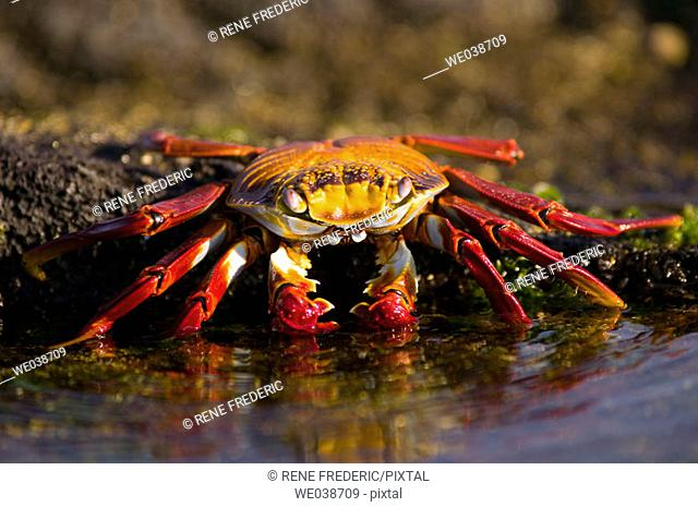 Sally Lightfoot Crabs (Grapsus grapsus). Puerto Egas, Galapagos Islands National Park. Ecuador