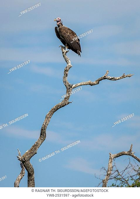 Vulture perched on a tree branch, Etosha National Park, Namibia, Africa