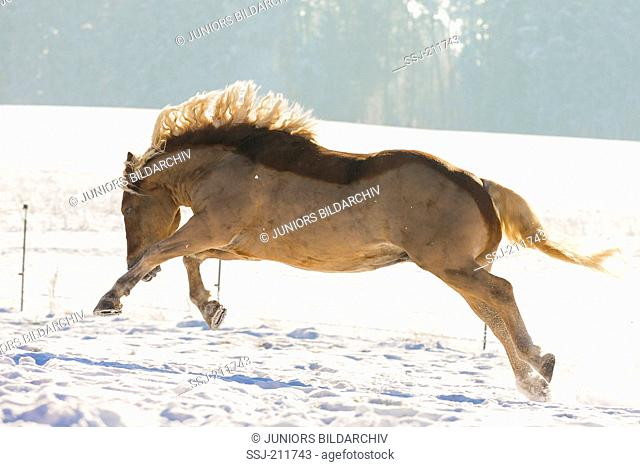 Black Forest Horse. Chestnut gelding bucking and kicking on a snowy pasture. Germany