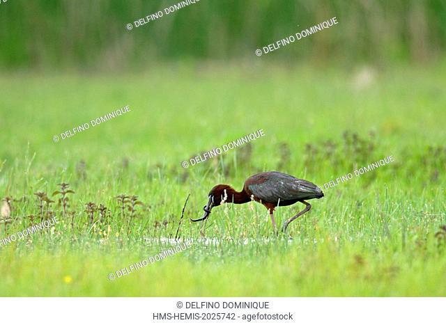 Romania, Danube Delta listed as World Heritage by UNESCO, Glossy Ibis (Plegadis falcinellus) capturing prey in a flooded meadow