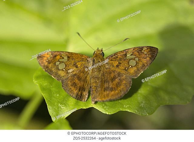 Fulvous Pied Flat butterfly, Pseudocoladenia sp, Hesperiidae, Jampue hills, Tripura, India