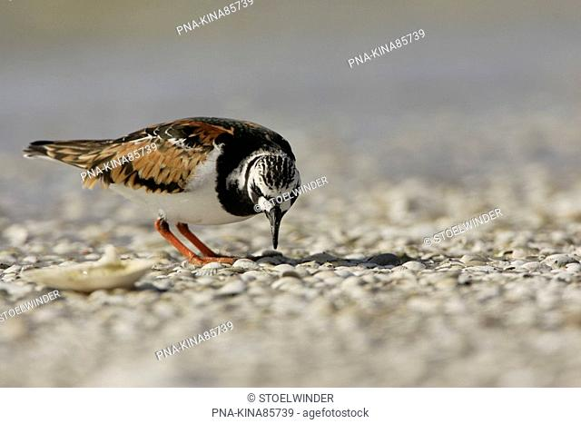 Ruddy Turnstone Arenaria interpres - Workumerwaard, Frisia, The Netherlands, Holland, Europe