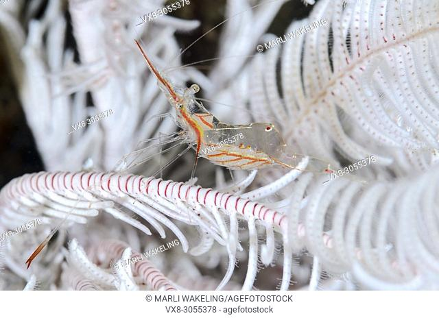 Commensal shrimp, Manipontonia psamathe, with eggs, Anilao, Batangas, Philippines, Pacific