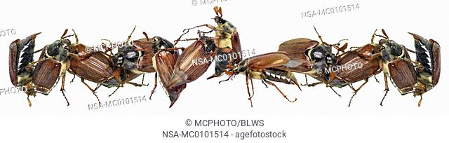 Melolontha melolontha, common cockchafer, maybug