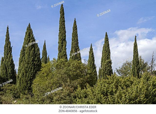 Cypress forest in Tuscany