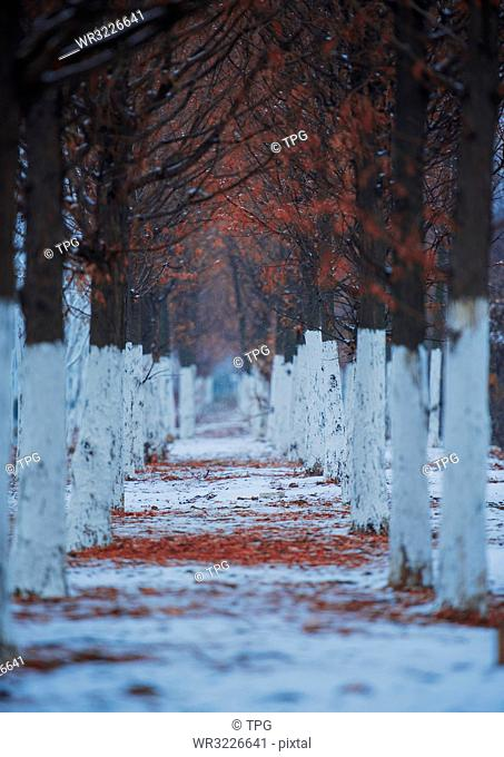 Metasequoia in snow;China