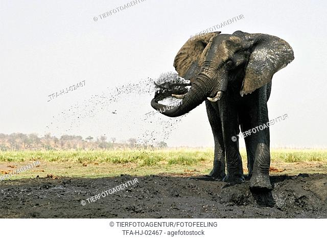 African Elephant at body care