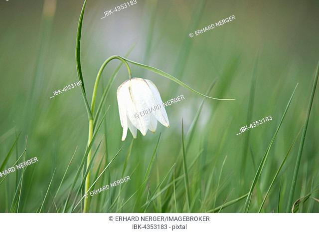 White checkered lily (Fritillaria meleagris), Lower Saxony, Germany